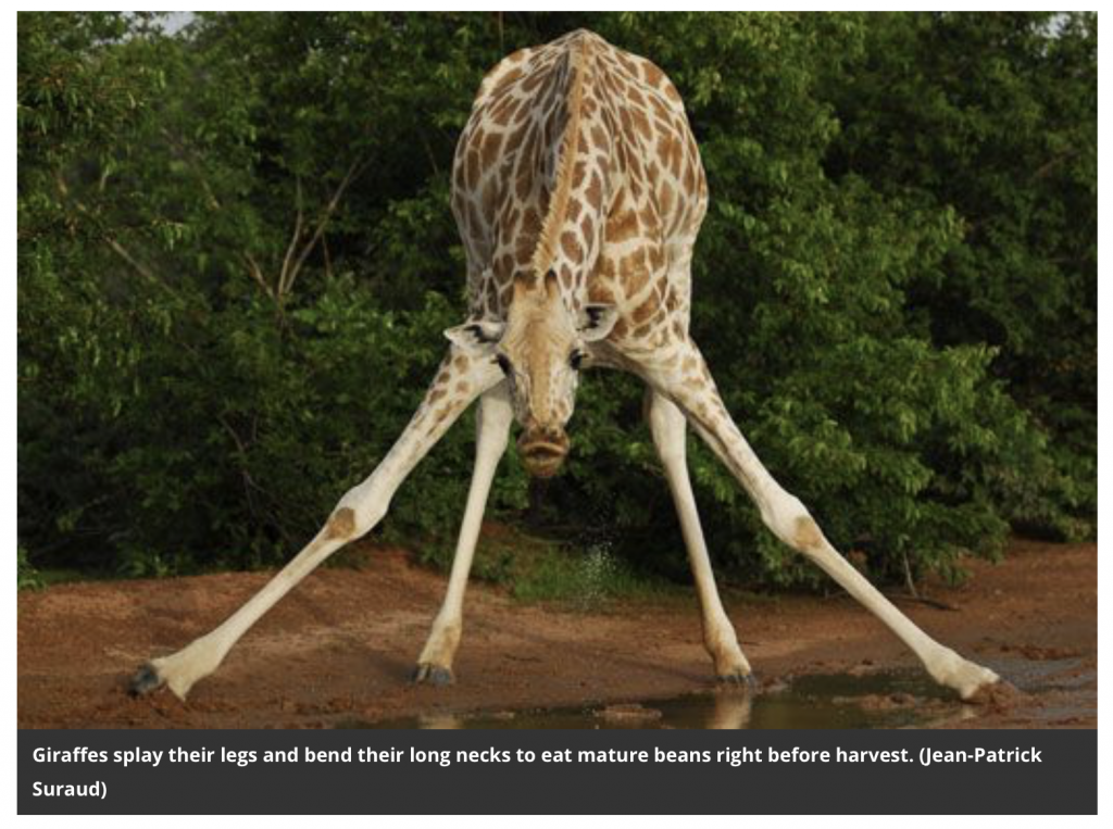 Giraffes splay their long legs and bend their long necks to get closer to the ground to drink. | Jennifer Margulis