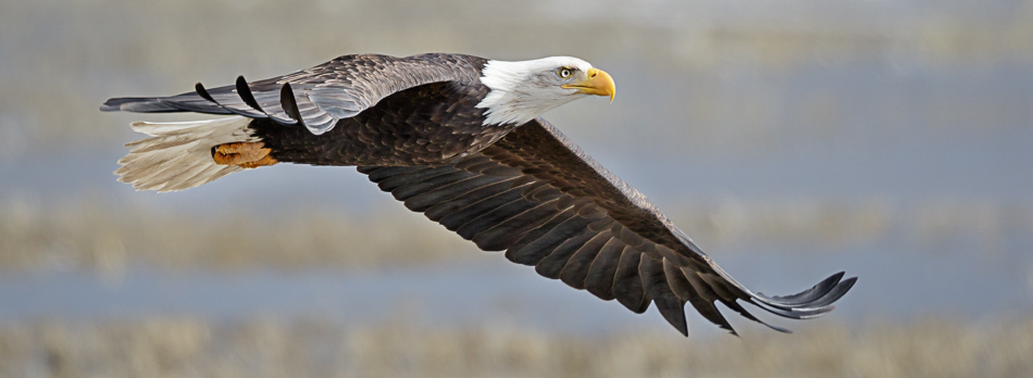 An eagle soaring high in the sky. Photo by Lee Aurich | Jennifer Margulis