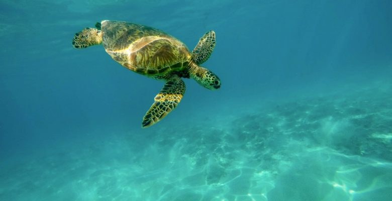 A sea turtle swims underwater. Via Jennifer Margulis, who was updating her blog from a travel assignment in Hawaii.