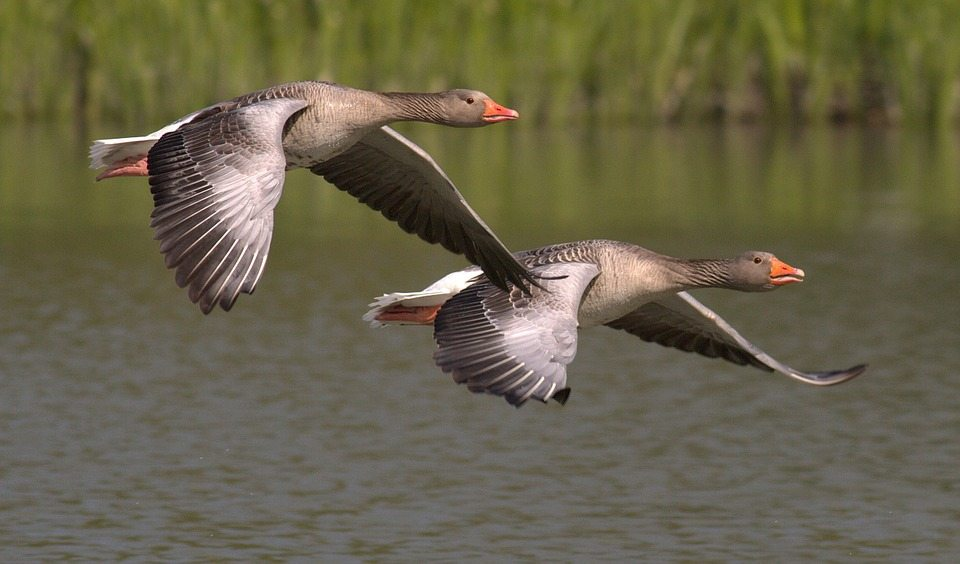 Canada geese flying over the water. Via Jennifer Margulis, Ph.D.