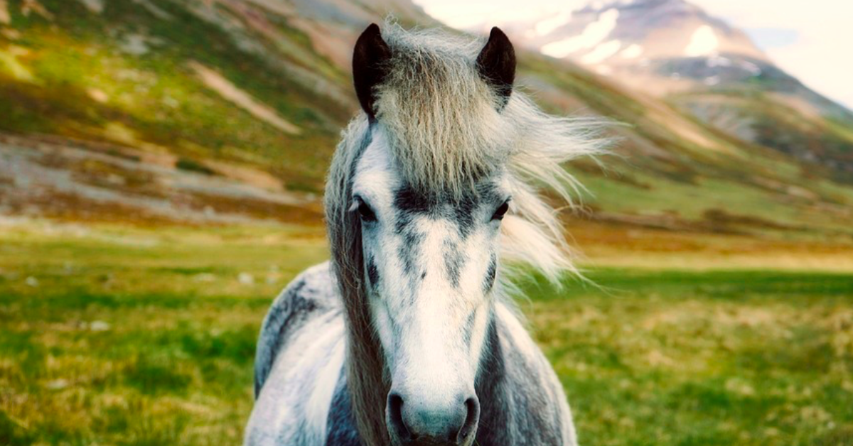 A pony in Iceland. Iceland is a beautiful, progressive, fascinating country