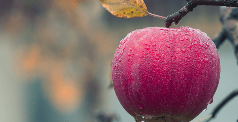 A bright red apple on a tree in autumn. Even snacks for kids need to be healthy! Via Jennifer Margulis, Ph.D.
