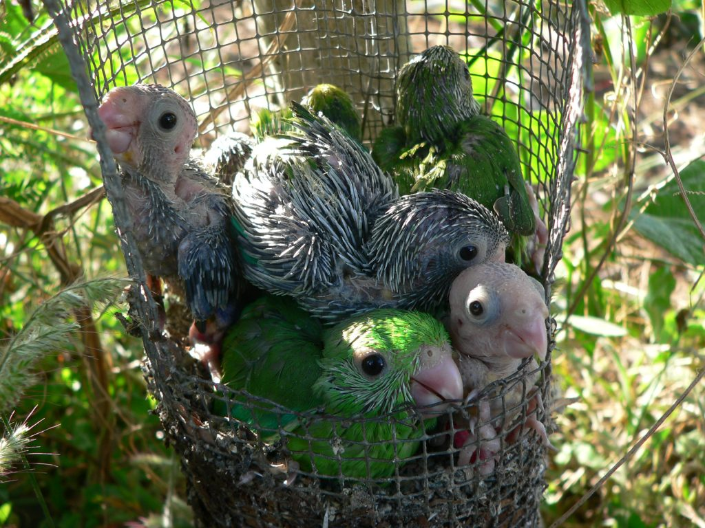 Green-rumped parrotlet chicks likely learn their signature contact calls (which function like our names do) from their parents. Photo by Karl Berg, courtesy of Virginia Morell.