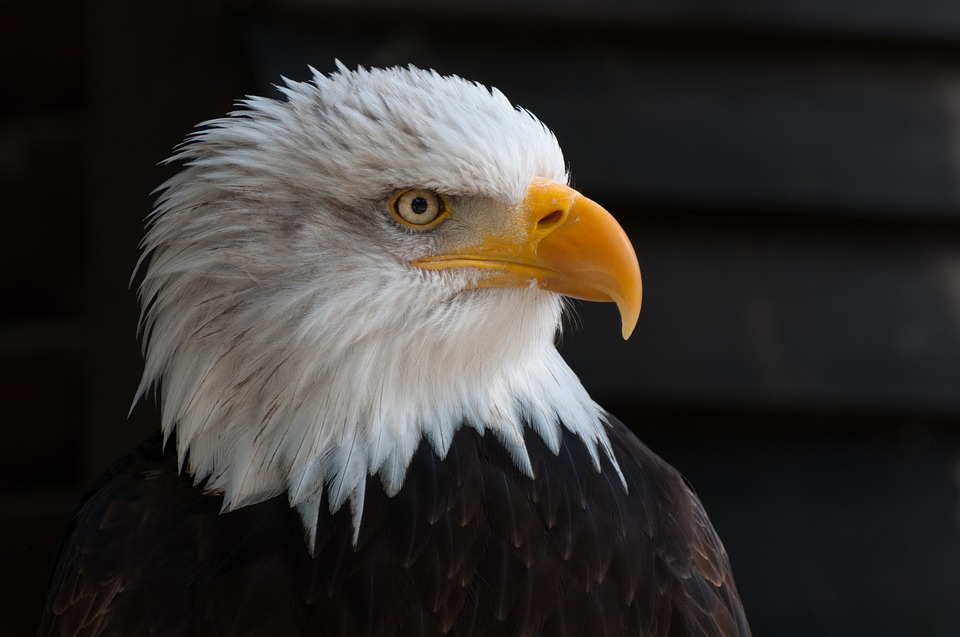 Are we a nation of fat people? Jennifer Margulis, Ph.D., explores the question. Photo of a bald eagle via Pixabay.