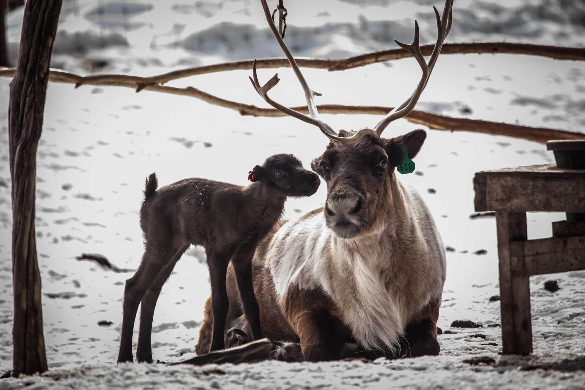 Midwife Ina May Gaskin points out that it's a good thing newborn reindeer have no horns (which would make it hard to nurse). Her point? Nature's designs work well, in animals AND in humans. Photo via University of Alaska Fairbanks.