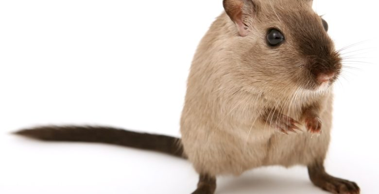 Study: Mice given influenza after taking antibiotics were more likely to die than mice not exposed to antibiotics. Antibiotics disrupt healthy gut bacteria | photo of a brown mouse via Jennifer Margulis