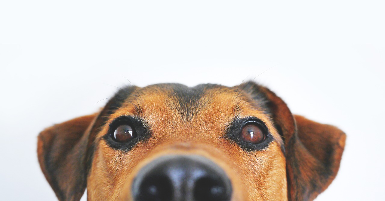 A dog looks at the camera down his nose. Here's how to treat a sinus infection without antibiotics from Jennifer Margulis, Ph.D.
