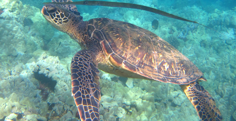An adult green sea turtle swims with a cornetfish. Photo by Sue Langston.   Jennifer Margulis, Ph.D.
