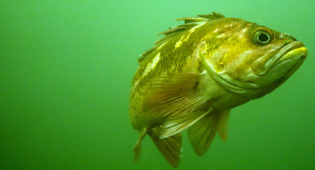 Copper rockfish in the Pacific Northwest. Photo by Sue Langston.   Jennifer Margulis, Ph.D.