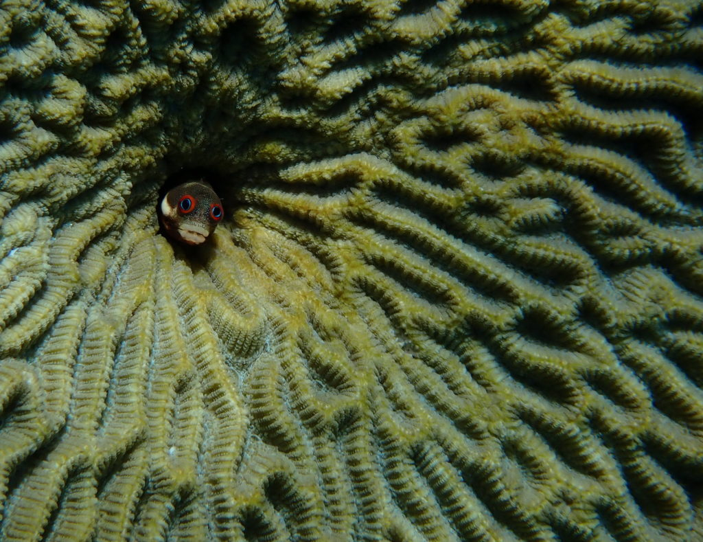 Amazing fish photos: Spot jaw blenny from Nicaragua. Photo by Sue Langston.   Jennifer Margulis, Ph.D.