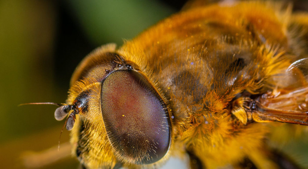 New study on being exposed to glyphosate. Photo of a close up of a honey bee courtesy of Egor Kamelev via Pexels | Jennifer Margulis, Ph.D.