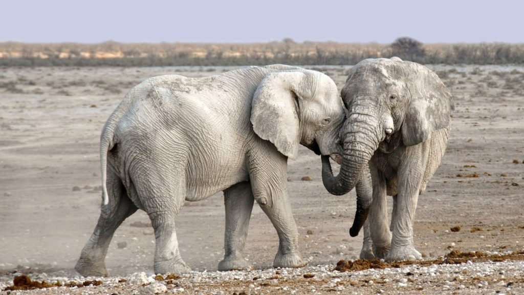 A Polish zoo announced it will use cannabis for anxiety in elephants. Two anxious female elephants are being given hemp oil to calm them. Will it work?