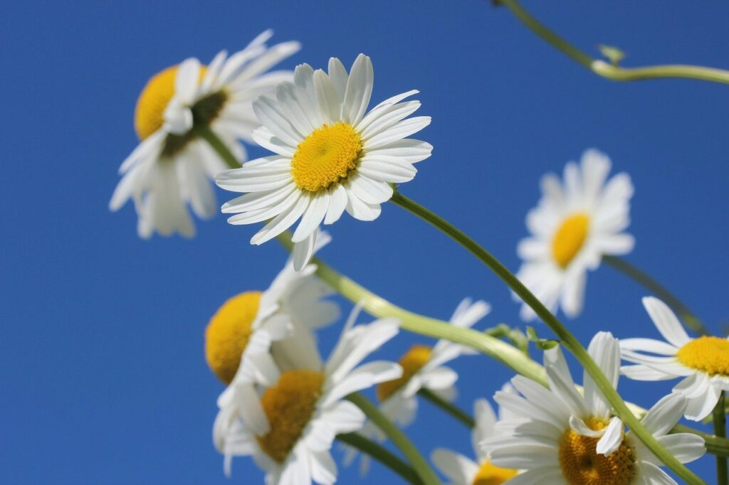 TMS therapy for depression: One young woman's story of trying to beat suicidal ideation. Photo of daisies via Pixabay. | Jennifer Margulis, Ph.D.